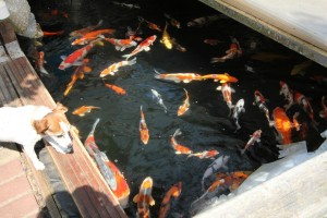 Hundreds of Koi for Sale