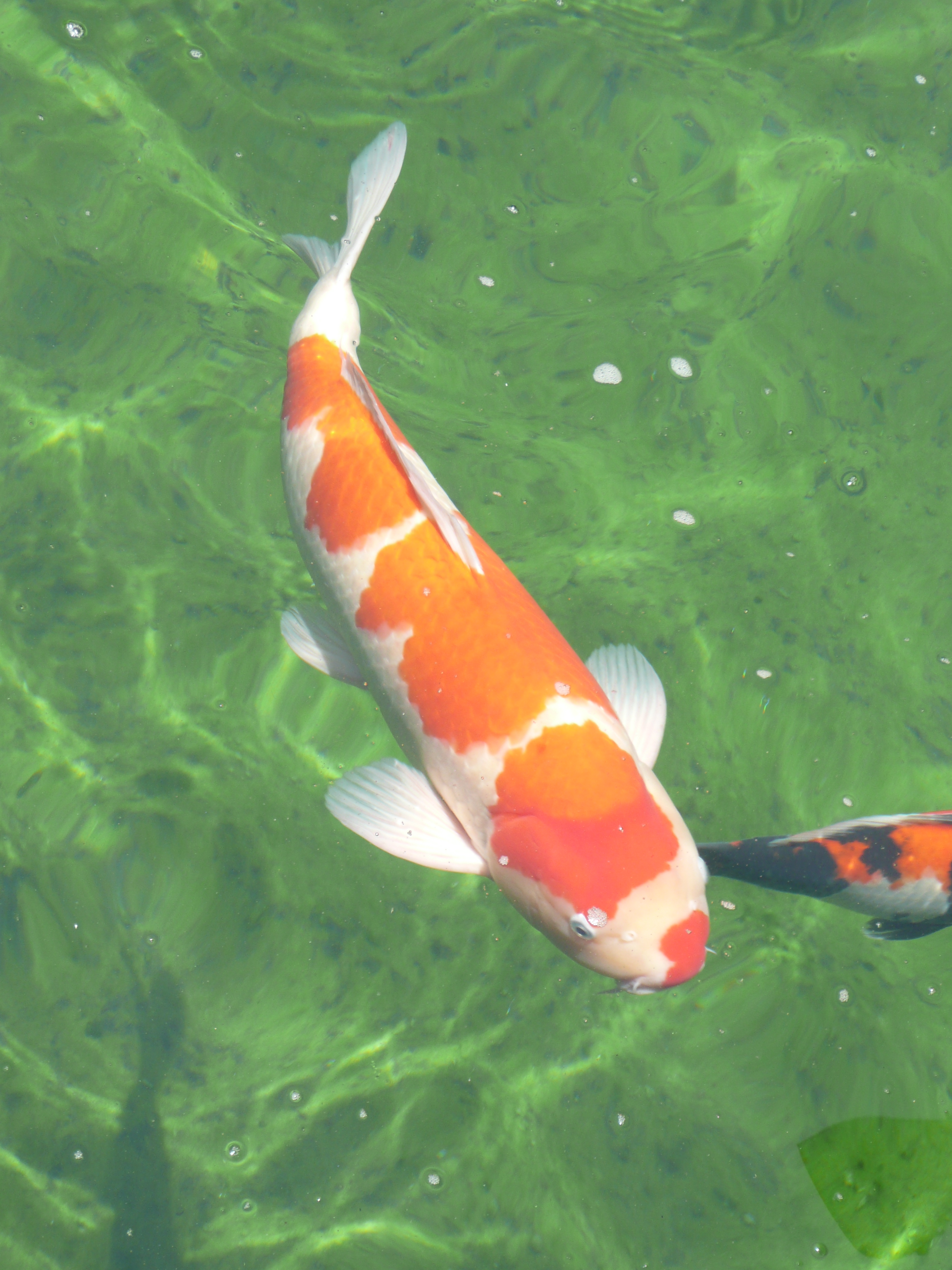 pond services koi for sale maple koi koi carp